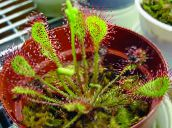 rouge Drosera À Feuilles Rondes Herbeux
