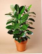 photo Indoor plants Fig tree, Ficus green