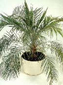 photo Indoor plants Date Palm tree, Phoenix green