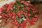 photo Indoor plants Christmas Cactus, Schlumbergera red