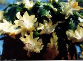 photo Indoor plants Christmas Cactus, Schlumbergera yellow