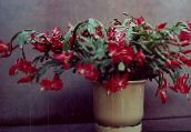 photo Indoor plants Christmas Cactus, Schlumbergera claret