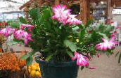 photo Indoor plants Christmas Cactus, Schlumbergera pink