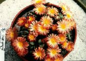 photo  Cone Plant succulent, Conophytum orange