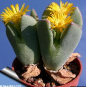 photo  Cone Plant succulent, Conophytum yellow