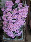 photo Indoor plants Oscularia succulent lilac