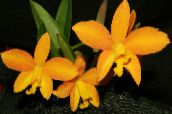 photo Pot Flowers Laelia herbaceous plant yellow