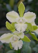 photo Pot Flowers Lycaste herbaceous plant white