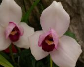 photo Pot Flowers Lycaste herbaceous plant pink