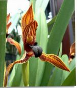 photo Pot Flowers Coconut Pie Orchid herbaceous plant, Maxillaria orange