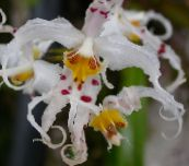 photo Pot Flowers Tiger Orchid, Lily of the Valley Orchid herbaceous plant, Odontoglossum white
