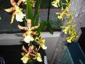 photo Pot Flowers Tiger Orchid, Lily of the Valley Orchid herbaceous plant, Odontoglossum yellow