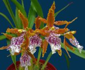 photo Pot Flowers Tiger Orchid, Lily of the Valley Orchid herbaceous plant, Odontoglossum orange