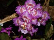 photo Pot Flowers Tiger Orchid, Lily of the Valley Orchid herbaceous plant, Odontoglossum lilac