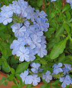 photo Pot Flowers Leadworts shrub, Plumbago light blue