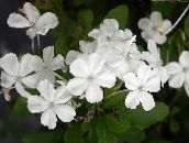 photo Pot Flowers Leadworts shrub, Plumbago white