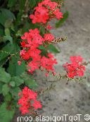 photo Pot Flowers Leadworts shrub, Plumbago red