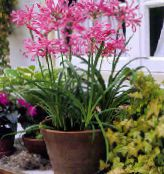 photo Pot Flowers Guernsey Lily herbaceous plant, Nerine pink