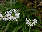 photo Pot Flowers Guernsey Lily herbaceous plant, Nerine white