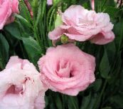 pink Texas Bluebell, Lisianthus, Tulip Gentian Herbaceous Plant