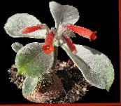 photo Pot Flowers Rechsteineria herbaceous plant red