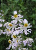 photo Pot Flowers Poor Mans Orchid herbaceous plant, Schizanthus white