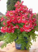 photo Pot Flowers Poor Mans Orchid herbaceous plant, Schizanthus red