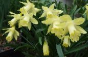 photo Pot Flowers Daffodils, Daffy Down Dilly herbaceous plant, Narcissus yellow