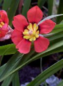 red Sparaxis Herbaceous Plant
