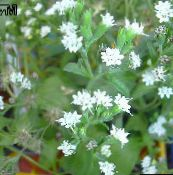 photo Pot Flowers Stevia, Sweet leaf of Paraguay, Sweet-herb, Honey yerba, Honeyleaf, Candy leaf herbaceous plant white