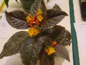 photo Pot Flowers Chrysothemis herbaceous plant yellow