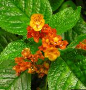 photo Pot Flowers Chrysothemis herbaceous plant red