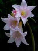 pink Belladonna Lily, March Lily, Naked Lady Herbaceous Plant