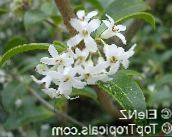 photo Pot Flowers Delavay Osmanthus, Delavay Tea Olive shrub, Osmanthus delavayi white