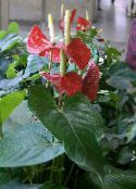 photo  Flamingo Flower, Heart Flower herbaceous plant, Anthurium red