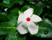 photo Pot Flowers Madagascar Periwinkle, Vinca shrub, Catharanthus white