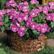 photo Pot Flowers Madagascar Periwinkle, Vinca shrub, Catharanthus pink
