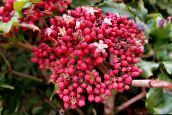photo Pot Flowers Red Leea, West Indian Holly, Hawaiian Holly shrub pink
