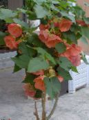 pink Flowering Maple, Weeping Maple, Chinese Lantern Tree
