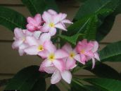 photo Pot Flowers Plumeria shrub pink
