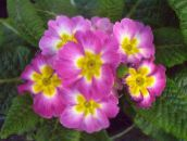 photo Pot Flowers Primula, Auricula herbaceous plant pink
