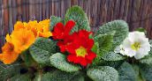photo Pot Flowers Primula, Auricula herbaceous plant red