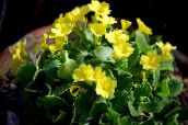 photo Pot Flowers Primula, Auricula herbaceous plant yellow