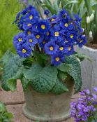 photo Pot Flowers Primula, Auricula herbaceous plant dark blue