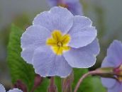 photo Pot Flowers Primula, Auricula herbaceous plant light blue