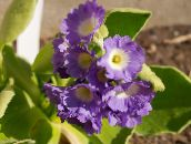 photo Pot Flowers Primula, Auricula herbaceous plant lilac