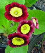 photo Pot Flowers Primula, Auricula herbaceous plant claret
