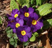 photo Pot Flowers Primula, Auricula herbaceous plant purple
