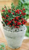 photo Pot Flowers Butcher's broom shrub, Ruscus red