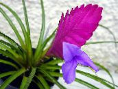 photo Pot Flowers Tillandsia herbaceous plant lilac
